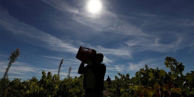 Un trabajador temporal de Bulgaria lleva una caja de uvas durante la cosecha en Moradillo de Roa, en el centro de España, el 2 de octubre de 2018. REUTERS / Sergio Perez