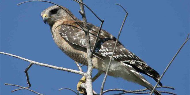 La aves rapaces, víctimas del consumo de microplásticos