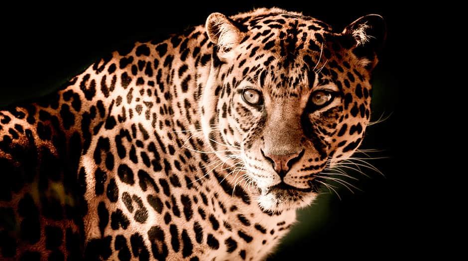El jaguar es el mayor félido de América y se encuentra distribuido a lo largo de todo el continente