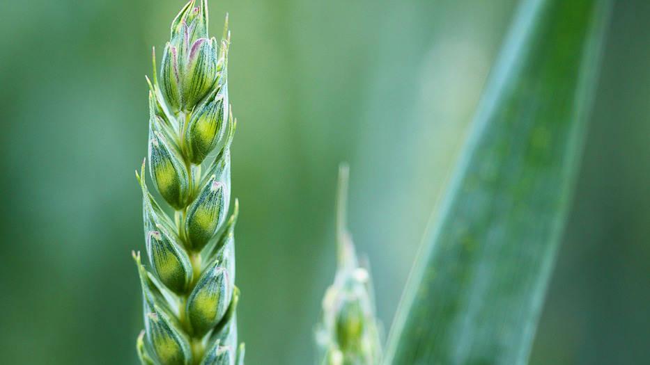 EE UU cultivos transgénicos