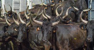 Ganaderos de bous al carrer: Compromís obliga a sacrificar 6.000 reses