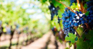 Industria del vino podría perder cosecha