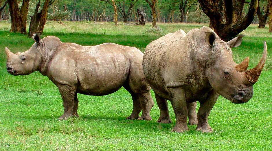 Rinoceronte, una especie víctima de la caza furtiva / Pixabay