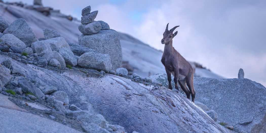 La Comunidad de Madrid está haciendo los trámites para un plan que frene la superpoblación de la cabra montés y sus efectos en el Parque Nacional de la Sierra de Guadarrama.