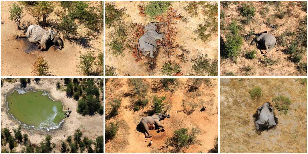 Más de 350 elefantes mueren inexplicablemente en Botsuana