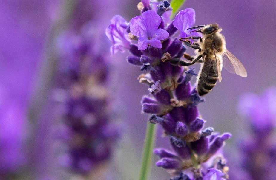 Foto de archivo: una abeja está en una lavanda y en pleno coronavirus. Viena, Austria. 26 de junio de 2020. REUTERS/Lisi Niesner
