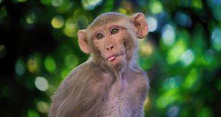 Monos contagiados de COVID-19 desarrollaron inmunidad