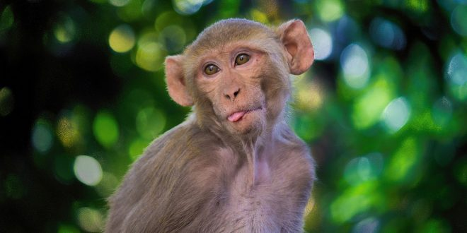 Monos desarrollaron inmunidad a la COVID-19 después de un primer contagio