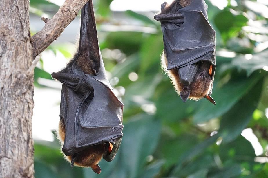 Los murciélagos pueden ayudar a combatir el coronavirus / Foto Pixabay