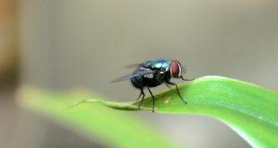 mosca negra Madrid
