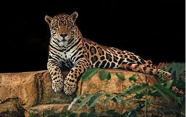 El jaguar es una especie amenazada. Partes como el cráneo, las patas, la carne, los colmillos, la piel, las garras son muy apetecidas, sobre todo por el mercado asiático, que aspira a sustituir al tigre asiático, en peligro de extinción. Los países de Suramérica con más jaguares, hasta 2018, eran Brasil con 86.834 ejemplares; Perú con 22.210; Colombia con 16.598 y Bolivia con 12.845. Imagen: Pixabay