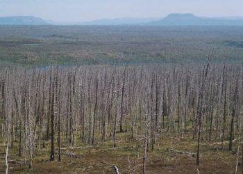 Árboles muertos en las inmediaciones de Norilsk /UNIVERSIDAD DE CAMBRIDGE