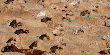 Mantener las razas de ganado autóctonas garantiza la biodiversidad / Imagen de Couleur en Pixabay