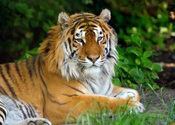 tráfico de tigres