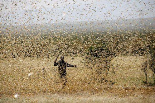 El cambio climático ha propiciado en África las plagas como las langostas / REUTERS