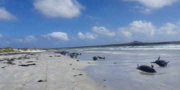 Casi un centenar de ballenas piloto murieron en la playa de las islas Chatam / REUTERS