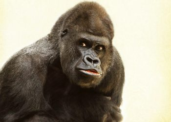 Gorila espalda plateada