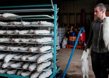 Matanza de visones por mutación del SARS-CoV-2, ¿una solución sin ética? / REUTERS