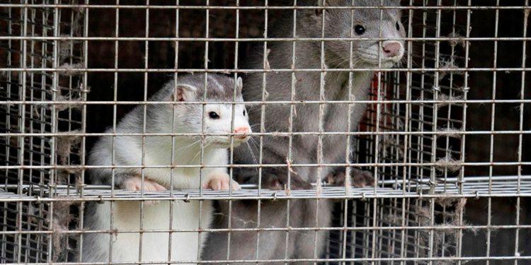 En Irlanda decidieron sacrificar visones ante contagios de la COVID-19 ente los animales / REUTERS