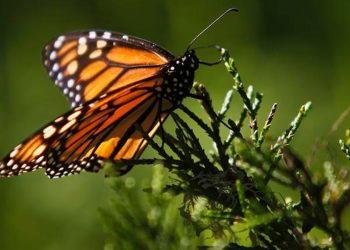 Estados Unidos desiste de proteger a las mariposas monarcas, en riesgo de extinción / REUTERS