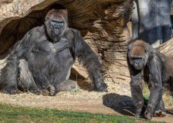 COVID-19 gorilas