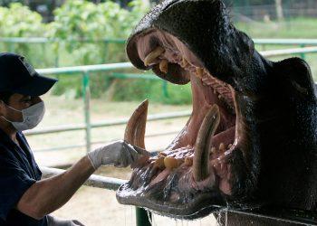 """Un veterinario prepara un hipopótamo, conocido como """"Orión"""", para tratamiento dental en el Zoológico Santa Fe de Medellín el 27 de enero de 2010. El hipopótamo nació en la hacienda privada Hacienda Nápoles que pertenecía a Pablo Escobar. REUTERS / Albeiro Lopera"""