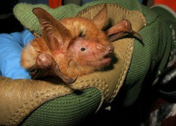 Murciélago anaranjado
