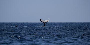 Regreso de ballenas azules a su hábitat natural