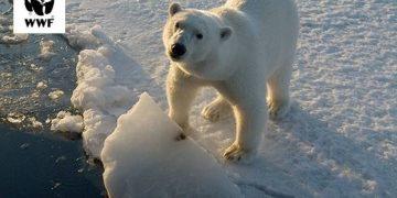 día mundial del oso polar