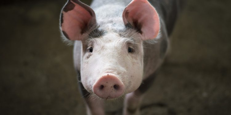 Los seres humanos provienen del mono y el cerdo, según el matemático genético Eugene M. McCarthy