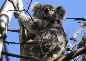 WWF reforestará con drones para salvar a los koalas en Australia. REUTERS