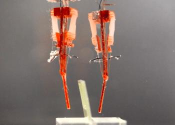 Imprimen biorrobots con tejido muscular vivo. IBEC