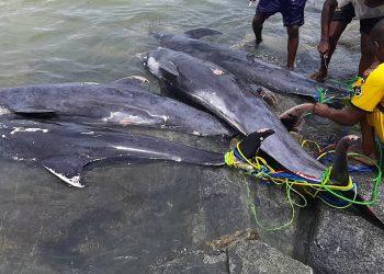 Ghana muerte de delfines