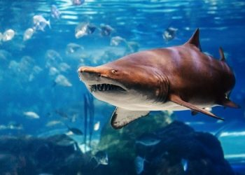 España Portugal tiburones