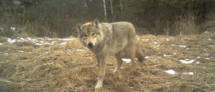 lobos de Chernóbil