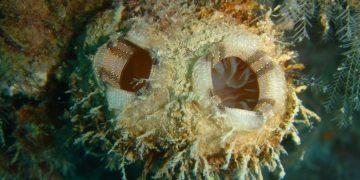 La especie marina Polycarpa mytiligera se regenera incluso si se corta en tres pedazos