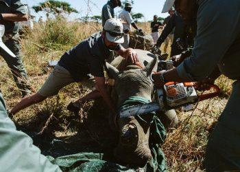 Las poblaciones de rinocerontes blancos y negros de la reserva natural de Spioenkop, en Sudáfrica, continúan enfrentando la presión de los sindicatos de caza furtiva que buscan vender sus cuernos a consumidores principalmente en los mercados asiáticos. A medida que el número de rinocerontes continúa disminuyendo, los esfuerzos de conservación se centran en enfoques proactivos para detener a los cazadores furtivos antes de que los rinocerontes mueran | Casey Pratt