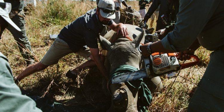 Las poblaciones de rinocerontes blancos y negros de la reserva natural de Spioenkop, en Sudáfrica, continúan enfrentando la presión de los sindicatos de caza furtiva que buscan vender sus cuernos a consumidores principalmente en los mercados asiáticos. A medida que el número de rinocerontes continúa disminuyendo, los esfuerzos de conservación se centran en enfoques proactivos para detener a los cazadores furtivos antes de que los rinocerontes mueran   Casey Pratt