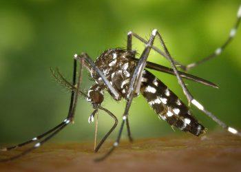 mosquitos modificados genéticamente