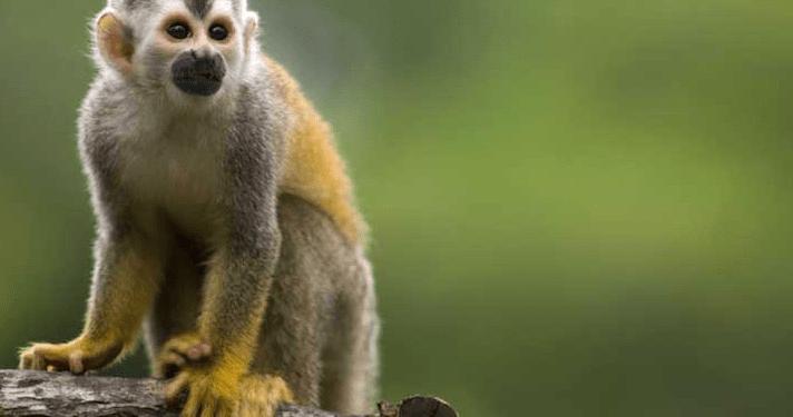 El mono ardilla de cabeza negra del Amazonas es una de las especies que podría desaparecer si el mundo no consigue limitar el calentamiento global a 1,5 C, según WWF