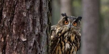 Avisan un ejemplar de búho asiático, un ave que se había declarado extinta desde hace 125 años