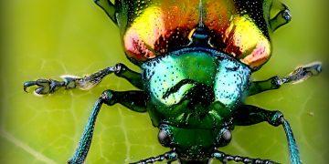 Los escarabajos cultivan hongos de ambrosía desde hace más de 100 millones de años