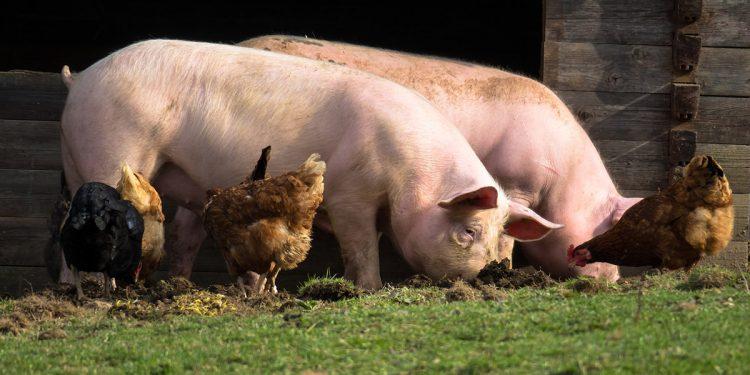 excremento de cerdos y pollos