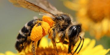 Las abejas prefieren flores con trazas de cafeína y un grupo de científicos ha investigado el motivo detrás de esta tendencia