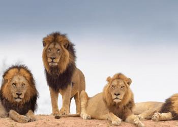 Actualmente los leones son una especie muy vulnerable, pues han sufrido una considerable disminución en sus poblaciones