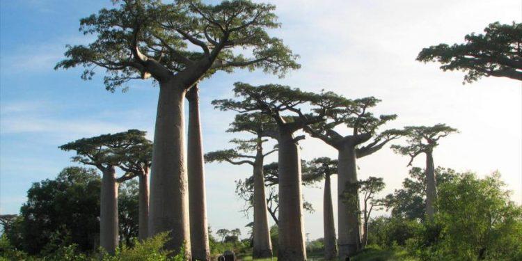 Casi un tercio de todas las especies de árboles del mundo están en riesgo de extinción, según indica un nuevo estudio.