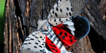 La mosca linterna manchada es una plaga invasora proveniente de Asia que desde el año pasado está causando revuelo en Nueva York