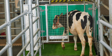 """Para evitar que se acumulen y se propaguen los desechos de las vacas, los científicos desarrollaron un sistema para enseñarles a """"ir al baño"""""""