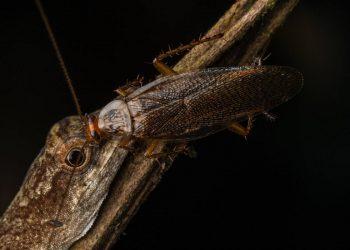 Fotografía de una cucaracha bebiendo las lágrimas de un lagarto en marzo de 2019 en la Amazonía ecuatoriana  | Javier Aznar González de Rueda