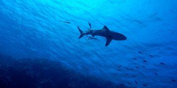 UICN extinción tiburones